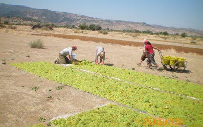 Türk üzümünü Uzakdoğulular çok sevdi